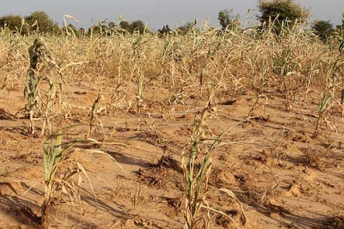 A drought-ravaged field in the Keyes region of southwestern Mali. Photo: Daouda Guirou/UN World Food Programme