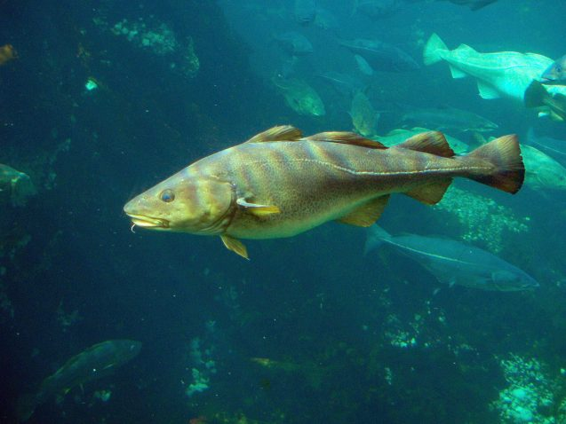 Atlantic cod, Gadus morhua. Photo: Hans-Petter Fjeld via Wikimedia Commons.