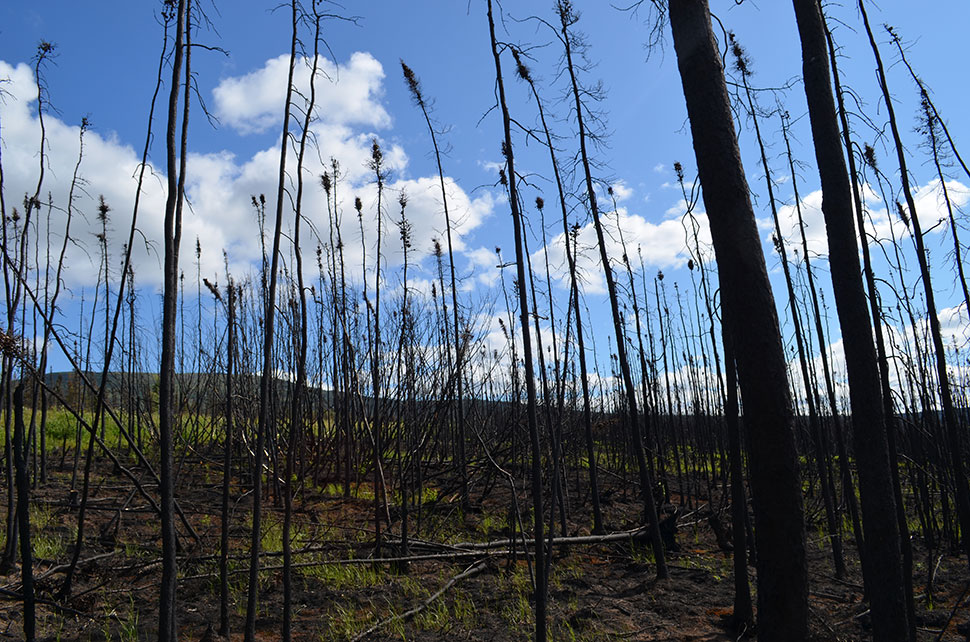 The most visible impact of warming climate on northern forests is increasing wildfire; this stretch along the Dalton Highway burned a couple of years ago. Each summer, huge blazes afflict Alaska, Canada and Russia; some even spread into the tundra, where fires had been previously unknown.