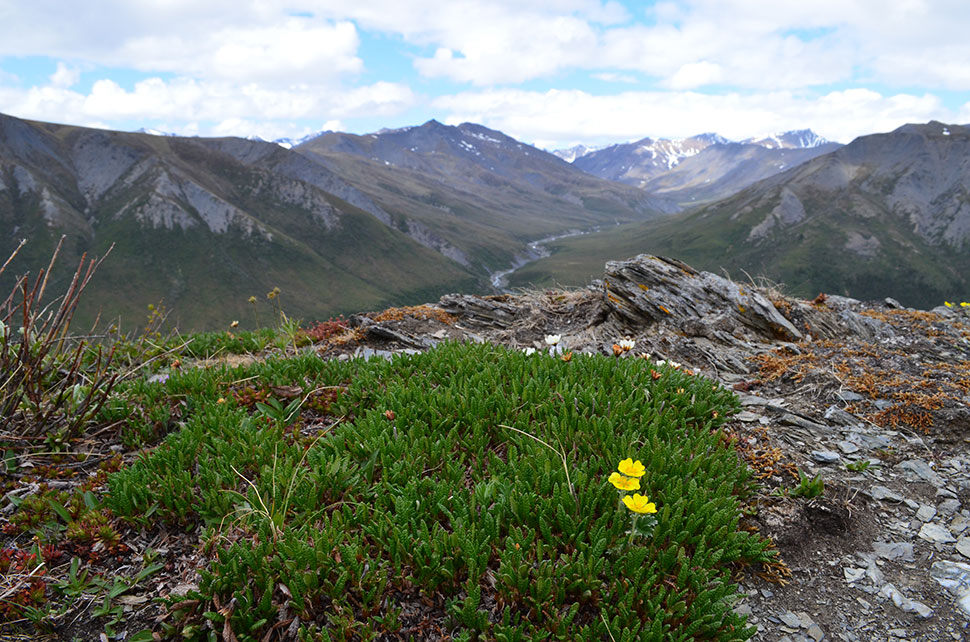 The tree line is altitudinal as well as latitudinal; trees living in valleys can't survive higher elevations. Here on a windswept mountaintop above one of the team's study sites, only plants typical of the lowland tundra further north hang on.