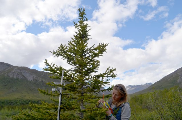 On her first trip to the north, Lamont-Doherty graduate student Johanna Jensen takes down data on a wired-up spruce. The study will provide not only long-term information on climate change, but opportunities for young scientists to work directly in the field.