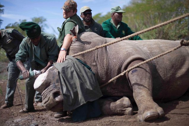 In the Ndumo Nature Reserve in South Africa, a team dehorns a rhino, part of a desperate attempt to save the species from poaching. Photo: Wendy Hapgood