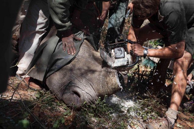 The team uses a chainsaw to cut off the horn, a painless procedure but one that may discourage poachers from killing the animal. It doesn't always work. Photo: Wendy Hapgood