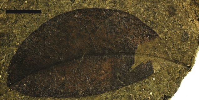 A fossilized Litsea calicariodies leaf from New Zealand's Foulden Maar. (Tammo Reichgelt/Lamont-Doherty Earth Observatory)
