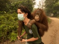 Widespread fires in Indonesia threaten habitat for many animals, including orangutans; here one is being rescued on Kalimantan. Photo: Gerry Ellis/oregonzoo.org