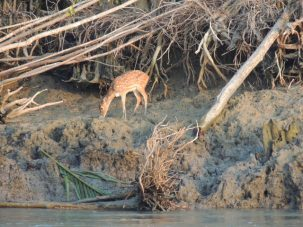 One of the many chital, or spotted deer, we saw along the way.