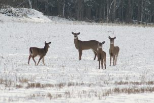 More deer will survive winters. Photo: BevCurrie