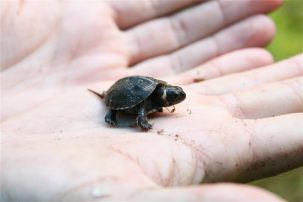The endangered bog turtle