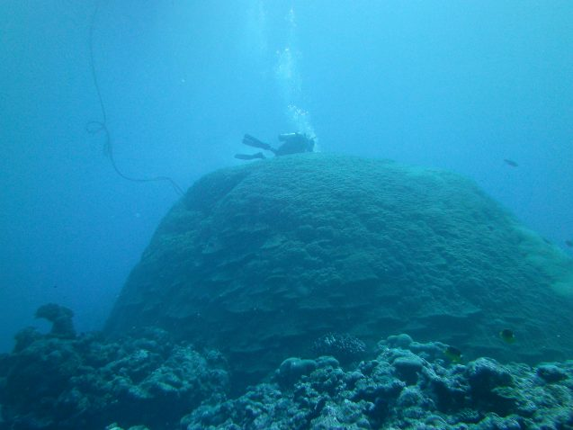 A scientist surveys a large Porites coral colony in American Samoa, which is located in the South Pacific Convergence Zone (SPCZ) and impacted by the SPCZ zonal events Linsley et al. reconstructed using similar corals from Indonesia's Makassar Strait. Photo: Brad Linsley