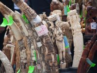 Elephant ivory confiscated in the bust.