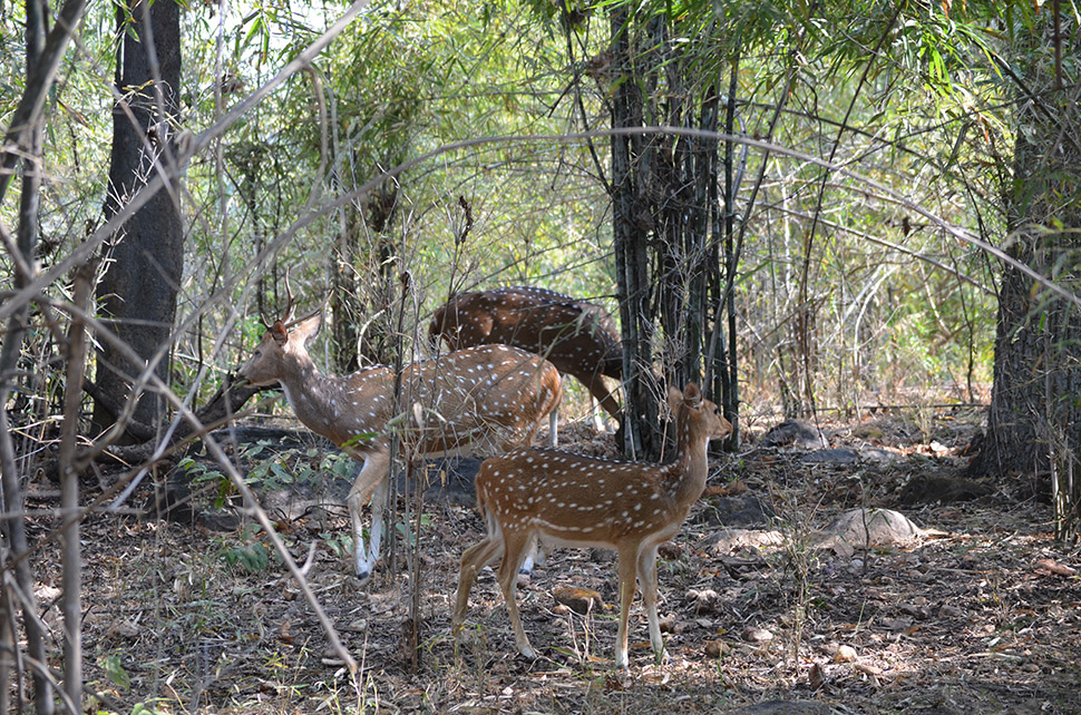 Inside the reserve, spotted deer browse in roadside woods. Also commonly seen: wild boars, jungle cats, monkeys and numerous bird species.