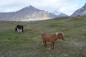 Livestock had to be extra tough to survive long-term cold spells. These horses on the island of Flakstadoya are almost certainly descended from ancient local breeds; similar horses are seen in Iceland, which was colonized by Vikings.
