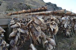 Residents of the Lofotens have always depended on the cod fishery, which became a major export industry as the Vikings declined. Today, cod heads dry by the millions on seaside racks.