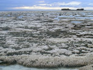 Coral bleaching in the Great Barrier Reef Photo: Oregon State Univ.