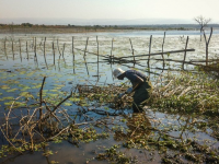 Muhubiri Kabuyaya of the University of KwaZulu-Natal scooping for snails at Nsunduza dam in Ndumo area, uMkhanyakude, KwaZulu-Natal Province, South Africa in May 2015.