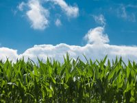 PixaBay (corn field under blue sky)
