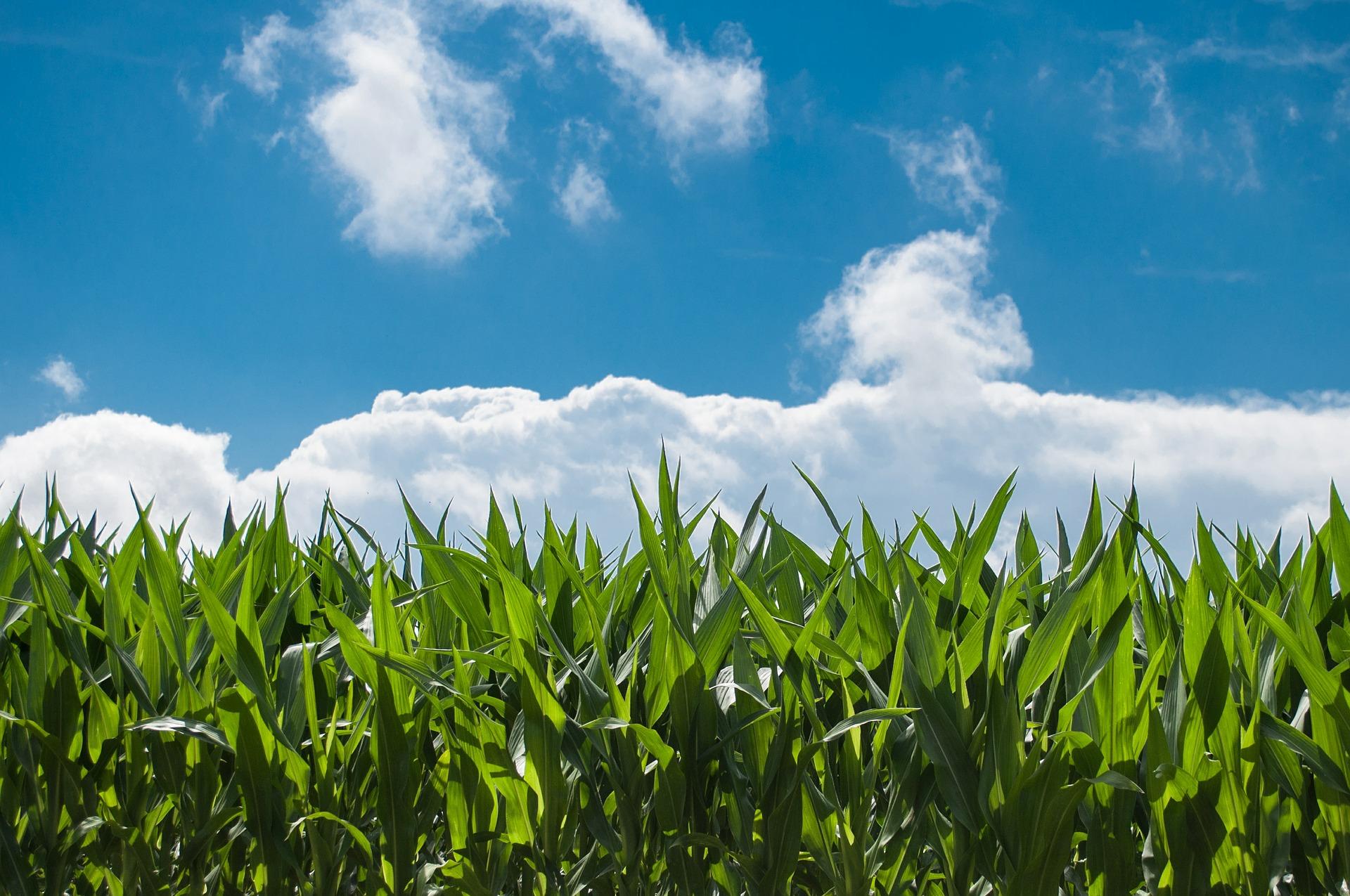 PixaBay (corn field under blue sky)
