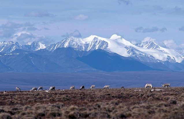 caribou graze in Arctic National Wildlife Refuge