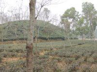 tea plants