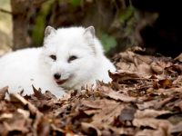 white arctic fox in brown leaves