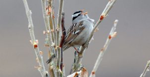 arctic birds gambels white-crowned sparrow on a branch