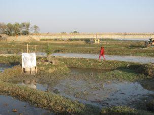rice farm in Bangladesh