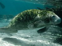 florida manatee endangered species act