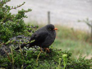 black bird in bush