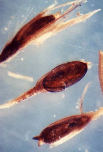 Phragmite seeds