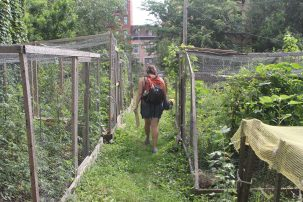 A young woman in shorts with a bike helmet strapped to her backpack walks between chicken-wire surrounded garden beds.