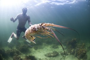 fisherman catching lobster on mesoamerican reef