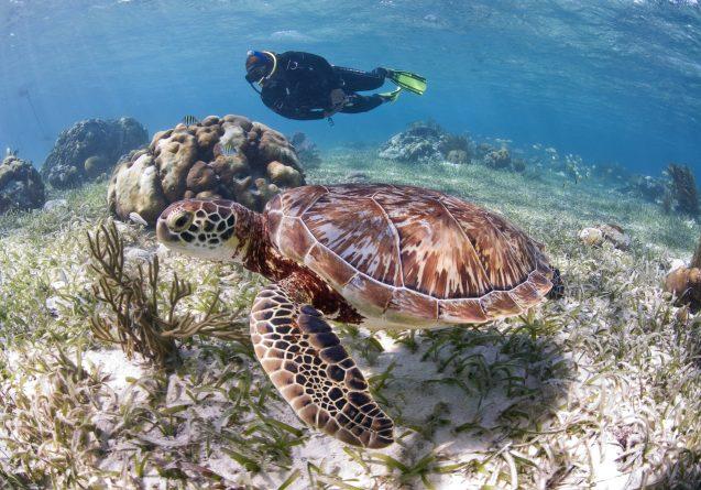 Nadia Bood swimming with sea turtle