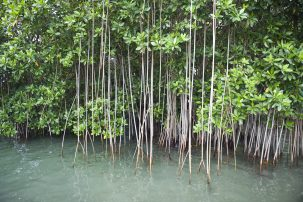 mangrove forests near mesoamerican reef