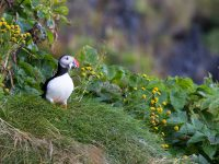 A puffin sits on a grassy hill.