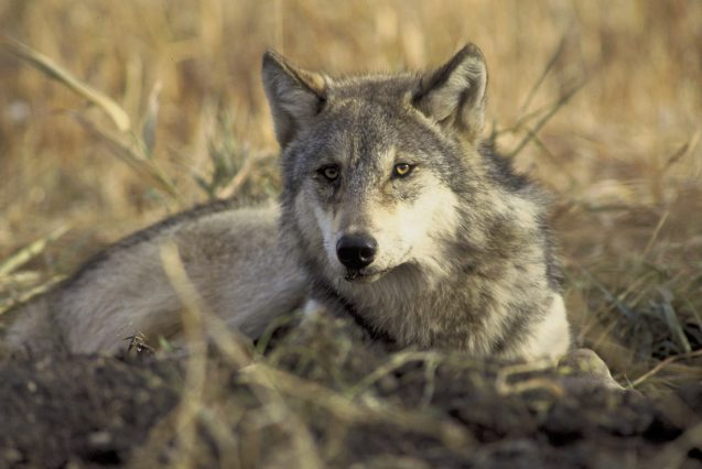 trump administration wants to strip gray wolf of endangered species status