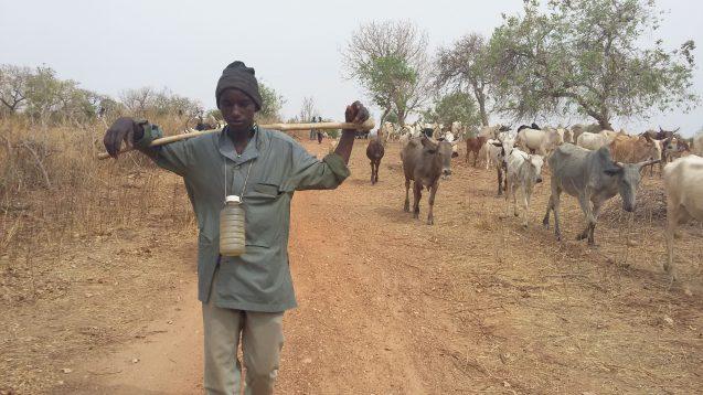 Fulani man walking with cattle