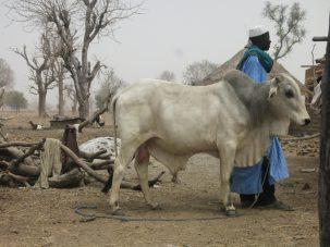Fulani man tending a bull