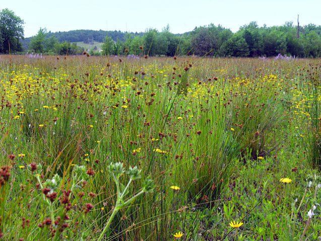prairie wildflowers in restored ecosystem