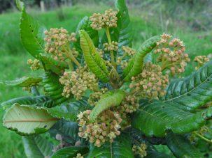 riñon plant