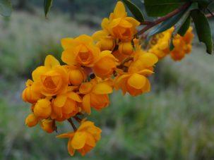 golden hawthorne flowers