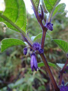 A closeup of Deprea cyanocarpa's purple calyx