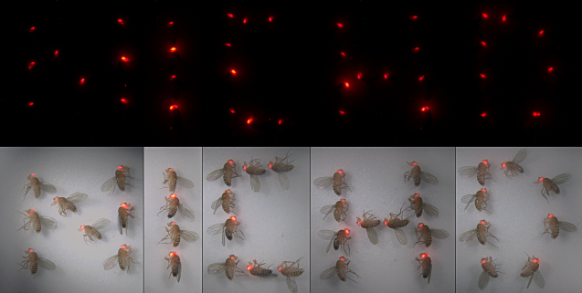 fruit flies with red eyes
