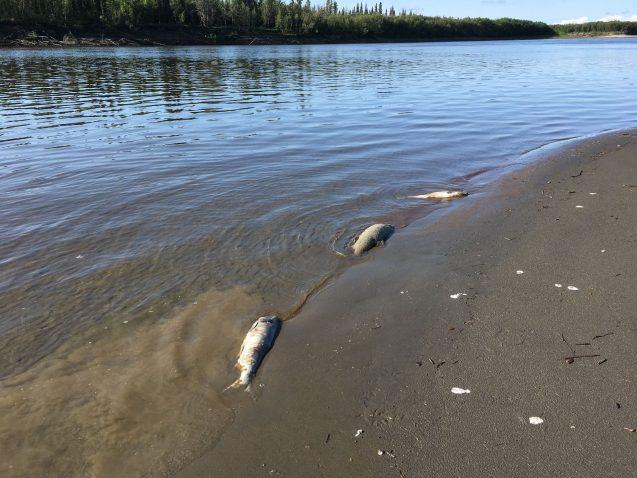 Dead chum salmon line the Koyukuk River
