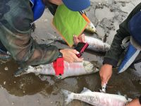 A team examines salmon along the Koyukuk River.
