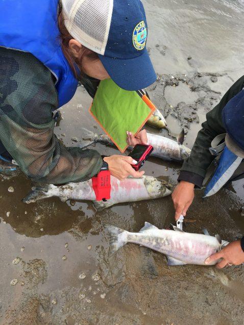 A team examines salmon along the Koyukuk River.