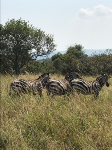zebras in grassland