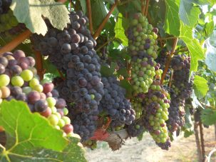 wine grapes growing on vine