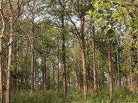 teak plantation in india