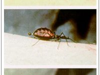kissing bug chagas disease