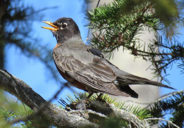 A robin wearing a GPS tracker on its back